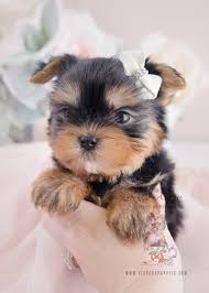 teacup puppy yorkie. Fine Puppy Puppy For Sale 066 Teacup Puppies Yorkie On