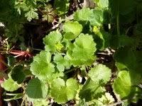 Ranunculus chius