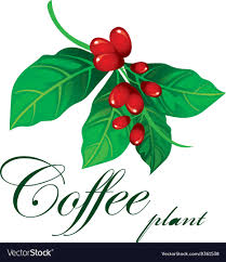 coffee plant illustration vector. Exellent Coffee Coffee Plant Vector Image Inside Illustration Vector N