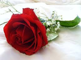 Red Flower Wallpaper Red Rose Flower Wallpaper 39 Find Hd Wallpapers For Free