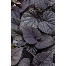 purple sweet potato plant. Wonderful Purple Proven Winners Sweet Caroline Sweetheart Jet Black Potato Vine  Ipomoea Live Plant And Purple Plant I