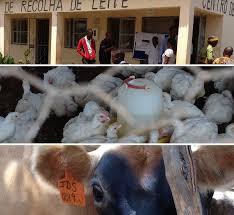 Livestock Development In The Zambezi Valley, Mozambique: Poultry ...