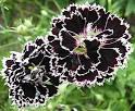 Гвоздика махровая цветы 151