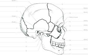 Skull Coloring Pages Anatomy And Skull Coloring Pages Anatomy Human