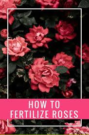 Alaska Fish Fertilizer Feeding Chart How To Fertilize Roses Which Fertilizer To Use And How