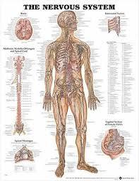 Nervous System Poster 66x51cm Anatomical Chart Human Body Anatomy Medical New Ebay