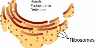 Endoplasmic Reticulum What Are Scattered Over Like Pepper Over The Endoplasmic
