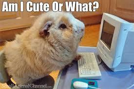 Bildergebnis für guinea pig