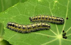 caterpillar natural and organic