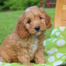 apoo puppies for