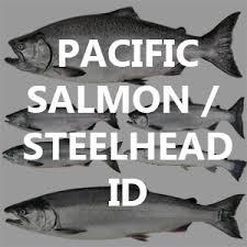 Pacific Salmon Steelhead Identification And Lifecycle Bc