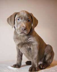 yellow lab with blue eyes. Modren Eyes So Are Silver Labs AKC Recognized On Yellow Lab With Blue Eyes