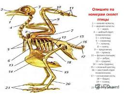 Опорно двигательная система птицы скелет и мышцы Биология  Скелет птиц схема биология 7 класс