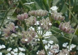 Common Hedge Parsley (Torilis arvensis)