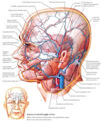 arteries of the face vein in human body face anatomy of scalp image collections human