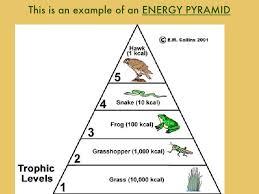 food web pyramid food chains food webs