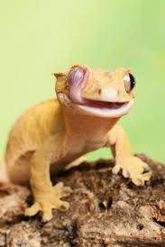 the crested gecko new caledonian crested gecko guichenot s giant gecko or eyelash gecko correlophus ciliatus is a species of gecko native to southern