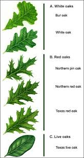 Oak Tree Comparison Chart Types Ofoak Leaf Identification Chart Yahoo Image Search