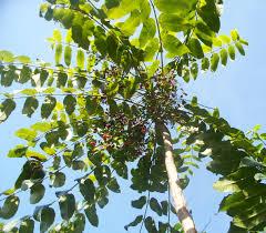 Tropical Fruit  Caldwell NurseryJamaican Fruit Trees