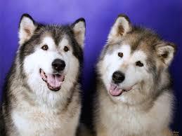 cute siberian husky puppy wallpaper. Wonderful Puppy Dogs Images Siberian Huskies HD Wallpaper And Background Photos And Cute Siberian Husky Puppy Wallpaper