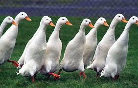 Best duck breeds to keep in the garden - The Field