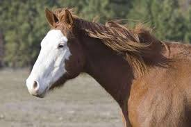 white horse face side. Perfect Face A Side View Of A Horse With White Face In Field Stock Photo Throughout White Horse Face Side S