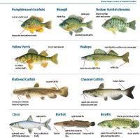 Lake Michigan Fish Identification Chart List Of