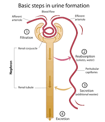 Urine Formation Flow Chart Renal Tubule Nephron The