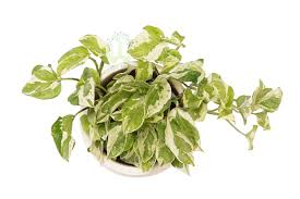 order plants online. Buy Money Plants , White Pots And Seeds In Delhi NCR By The Best Online Nursery Order