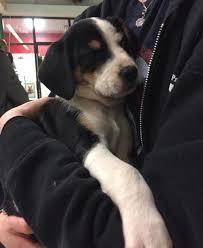 australian cattle dog blue heeler dog for adoption in elyria ohio rachel petcurious