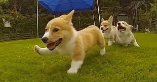 corgi puppy playing. Contemporary Puppy In Corgi Puppy Playing O