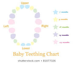 Teething Chart Babies Royalty Free Primary Teeth Stock Images Photos Vectors Shutterstock
