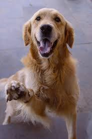 golden retriever. Contemporary Retriever Golden Retriever Dogs And Puppies With N