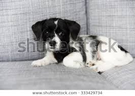white terrier mix puppies. Unique Mix Small Adorable Black And White Terrier Mix Puppy On Couch In Puppies
