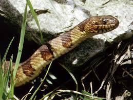Northern Water Snake Wikipedia