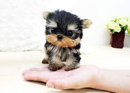 baby yorkshire terrier. Beautiful Baby Baby Teacup Yorkies  White Party Blackwhite Yorkie In Yorkshire Terrier A