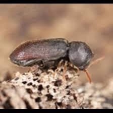 Les insectes à larves xylophages : Se Debarrasser Des Insectes Xylophages Anticimex