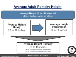 The Size Of A Full Grown Adult Pomsky Pomeranian Husky