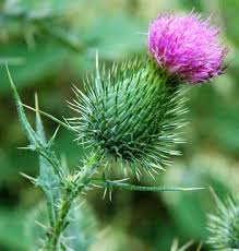 Image result for thistle