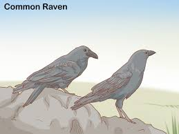 Raven we are hairy
