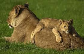lioness with her cub all about lions