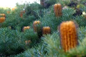 top 3 plants for australia day