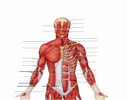 In this lesson, you'll add the muscles of the upper torso, deep neck, and deltoid to your ecorché. Anterior Muscles Of The Upper Body