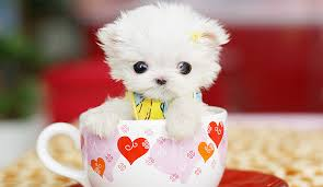 cute puppy in a cup picture