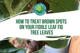 how to treat brown spots on fiddle leaf