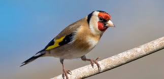 wild bird pictures. Unique Wild European Goldfinch The Species Has Become Rarer In The Magreb Over  Past 30 Years Inside Wild Bird Pictures