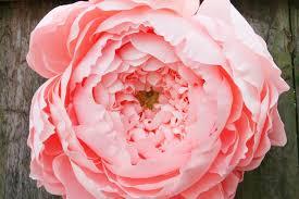 Peony Paper Flower Giant Closed Paper Peony Carte Fini