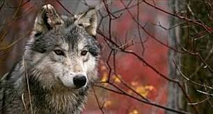 native american wolf wallpaper. Exellent American Wolf  Native American  And Wallpaper 2