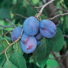 Best 25 Fruit Trees For Sale Ideas On Pinterest  Fruit Tree Full Size Fruit Trees For Sale