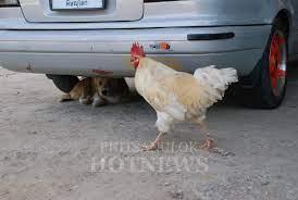น่ารักดี..ไก่หยอกหมา..เพื่อนซี้ต่างสายพันธุ์ - Phitsanulok Hotnews